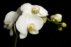 Flowers of white orchid with buds Stock Photo