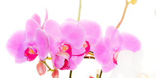 Flowers white orchid and fuchsia Stock Images