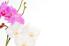 Flowers white orchid and fuchsia Stock Photography