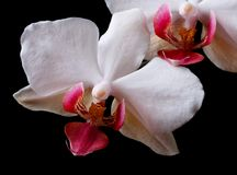 Flowers white orchid isolated on black background. Royalty Free Stock Photography