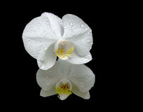 Flowers of white orchids in the dew drops close up on black back Stock Photos