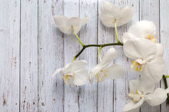 Flowers of white orchids stock images
