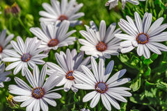 Flowers with white petals Stock Image
