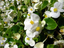 Flowers with white petals. Close up of a flowerbed with white flowers Stock Images