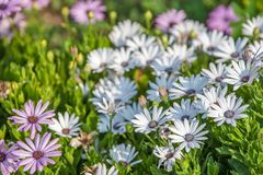 Flowers with white petals royalty free stock image
