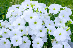 Flowers white phlox Stock Photography