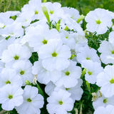 Flowers white phlox Royalty Free Stock Image