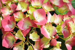 Flowers of white and pink hydrangea Royalty Free Stock Photo