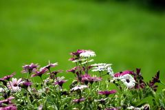 Flowers with white & purple Stock Images