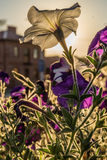 Flowers of white and purple petunias in the sunbeams Royalty Free Stock Image