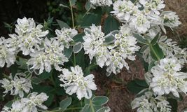 Flowers of white snow-decoration of space. Seasonal flowers their snow-white flowering all summer period.Large bushes fill a lot of space Stock Photo
