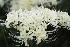 Flowers of white spider lily Stock Image
