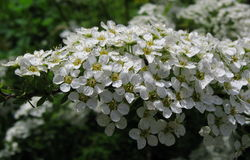 Flowers of a white spirea. Inflorescence of a white spirea Stock Images