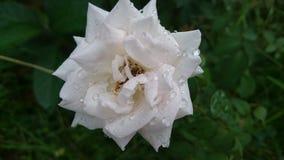 White roses stock photos