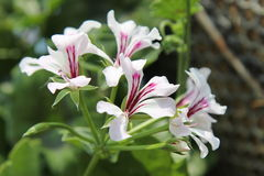 Flowers. White and violet  flowers are beautiful Royalty Free Stock Photos