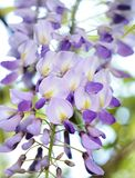 Chinese Wisteria racene on panicle closeup. The flowers are white, violet, or blue, produced on 15–20 cm racemes before the leaves emerge in spring. The Royalty Free Stock Photos