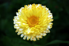 Flowers white and yellow. Flower in garden with nature Royalty Free Stock Image