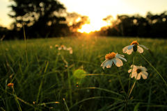 Flowers. White and yellow flowers in sunset Royalty Free Stock Photography
