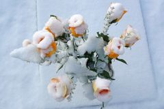 Flowers whitened by snow Royalty Free Stock Photography