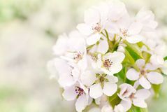 Flowers of wild apple Royalty Free Stock Photo