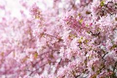 Flowers of wild apple tree Stock Photo