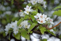 Flowers wild apple-trees Royalty Free Stock Photo