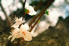 Flowers of wild Apricot Tree Royalty Free Stock Photography