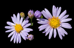 Flowers of wild aster 5 Stock Photos