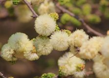 Flowers, Wild, Blackthorn -African Spring Blossoms Royalty Free Stock Photos