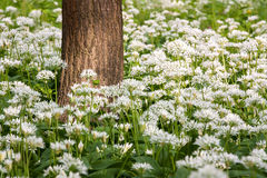 Flowers of wild garlic Stock Images