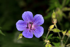 Flowers,wild geranium Stock Images