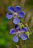 Flowers of wild geranium Lisno. Royalty Free Stock Photo