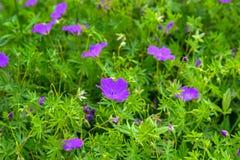 Flowers a wild geranium Royalty Free Stock Image