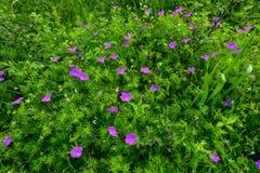 Flowers a wild geranium Stock Image