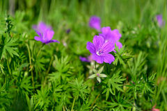 Flowers a wild geranium Royalty Free Stock Photography