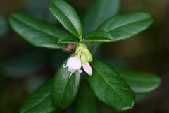 Flowers of a wild lingonberry Royalty Free Stock Images