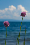 Flowers of wild onions. Wild onions at Baikal lake stock photography