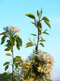 Flowers of a wild pear. Againct the blue sky Royalty Free Stock Photography