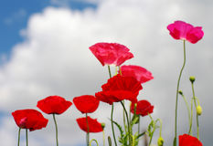 Flowers of wild pink poppy against the blue sky Royalty Free Stock Photos