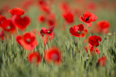 Flowers Wild Red poppies blossom on field. Beautiful field red poppies with selective focus. Red poppies in soft light. Opium pop royalty free stock images