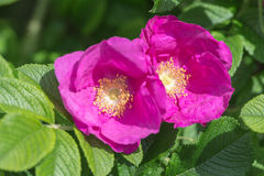 Flowers of wild rose Royalty Free Stock Photo