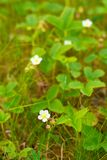 Flowers of wild strawberry against a blurred background of green leaves Stock Photography