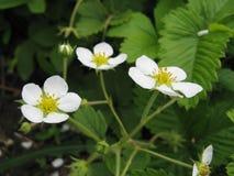 Flowers of Wild Strawberry Stock Photo