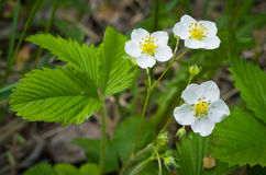 The flowers of wild strawberry. Stock Images