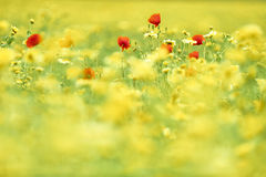 Flowers in a wild summer field Royalty Free Stock Photography