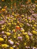 Flowers - Wildflowers. Wildflowers carpet the ground Royalty Free Stock Image
