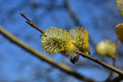 Flowers on the willow appear before the leaves. Turned into beauties thanks to fluffy yellow from pollen lumps of flowers that are densely dotted with recently royalty free stock images