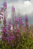 Flowers willow-herb. On background sky with clouds Stock Photography
