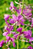 Flowers are Willowherb Royalty Free Stock Photos