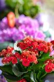 Flowers on window.Kalanchoe Royalty Free Stock Photos